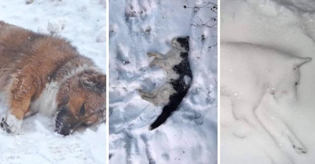 Odchodzą po cichu. Przywiązane na zbyt krótkich łańcuchach, nocujące pod gołym niebem lub skryte w klatkach i blaszanych beczkach zasypanych śniegiem, przy temperaturach spadających poniżej minus 20 stopni C. Zdjęcia, publikowane na portalach internetowych, są bardzo drastyczne i nie pozostawiają złudzeń co do niektórych ludzi. Pokazują martwe psy, które nie przetrwały fali mrozów, leżące w pobliżu prowizorycznych schronień. Kliknij w galerię i zobacz psy odebrane przez inspektorów OTOZ Animals. Żyły w koszmarnych warunkach >>>