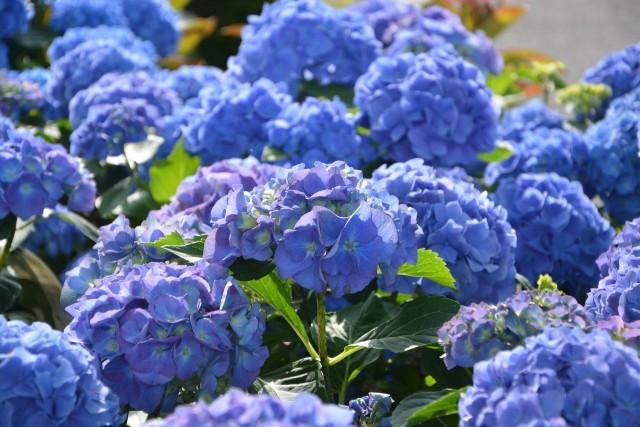 Rabaty kwiatowe w jednym kolorze mają swoich zwolenników. Ale jeśli zdecydujemy się na miks kolorystyczny, warto wiedzieć, jaki mamy wybór. Jeśli chcecie mieć niebieskie kwiaty w ogrodzie od wczesnej wiosny do późnego lata – mamy dla Was 15 propozycji.