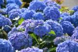 Niebieskie kwiaty do ogrodu i na balkon. TOP 15 roślin kwitnących na niebiesko od wiosny do jesieni