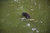 Miejskie problemy z fosą. W wodzie pływał martwy kot