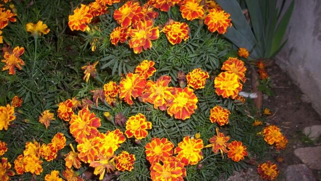 AksamitkiAksamitki przyciągają wzrok dzięki swemu żywemu żółto-pomarańczowemu kolorowi. Ale to nie jedyna ich zaleta. Są bowiem łatwe w uprawie, tolerują każde miejsce od słonecznych po cieniste. Nie mają także szczególnych wymagań, co do wilgoci podłoża. Wystarczy zraszający je deszcz.