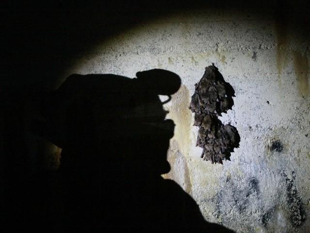 Dziś w podziemiach międzyrzeckich bunkrów odbyło się liczenie zimujących tam nietoperzy. To największe takie badania w Polsce i jedne z największych w Unii Europejskiej.