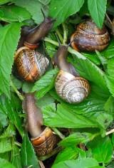 Inwazja ślimaków