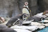 Tej zimy nawet pingwiny marzną! Sympatyczne ptaki ze Śląskiego Ogrodu Zoologicznego zobaczymy dopiero wiosną. Teraz jest im... za zimno