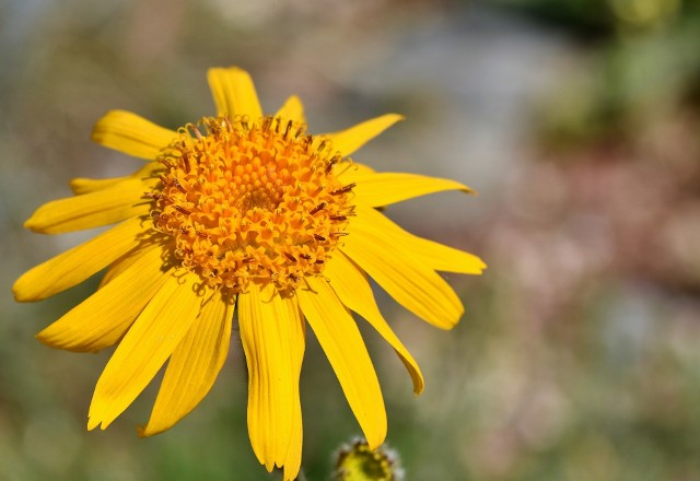 Arnika górska to niepozorna roślina chroniona, z której otrzymuje się skuteczne maści, żele i kremy na stłuczenia, siniaki, obrzęki i krwiaki