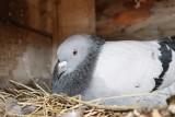 Sposoby na gołębie. Metody na pozbycie się gniazd gołębi i uciążliwych ptaków! Jak pozbyć się gołębi? Usuwanie gołębi z balkonu! 8.05.2021