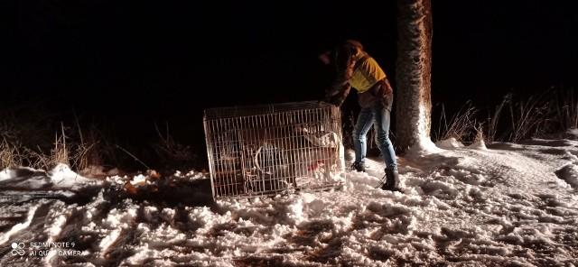 W nocy walczyli o życie potrąconego koziołka. Zwierzę pozostawiono na środku jezdni