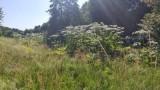 Czerwonak - Barszcz Sosnowskiego: Niedaleko ulicy Szkolnej znajduje się duże skupisko tej niebezpiecznej rośliny