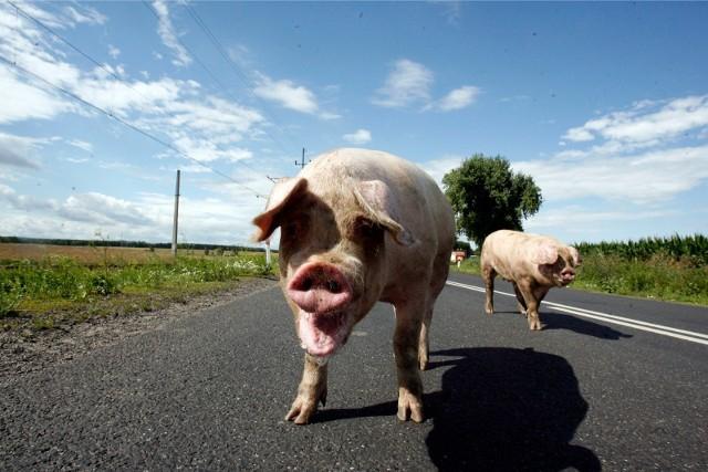 W styczniu nieco wzrósł eksport wieprzowiny - zwłaszcza do USA (o 31 proc.) oraz do Włoch (43 proc.).