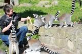 Z okazji podwójnego święta w łódzkim zoo pokazali jak dbają o lemury katta