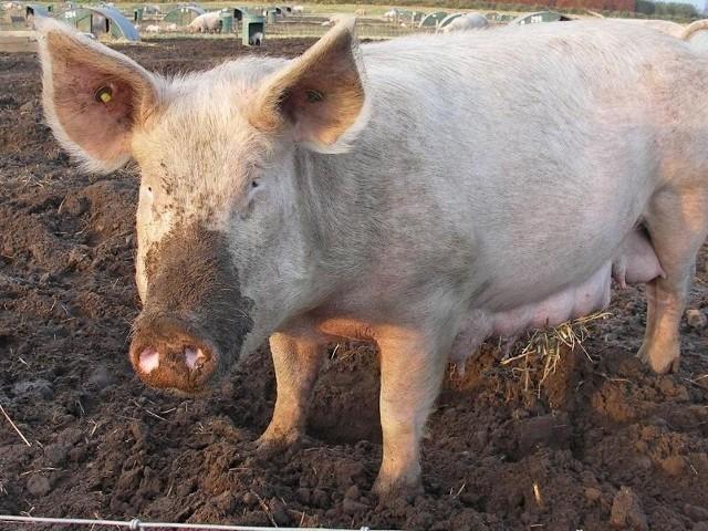 Czy w Studzieńcu powstanie świniarnia? (fot. sxc.hu)