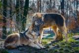 Bielsko-Biała. Uważajcie na wilki Beskidach! Prezydent apeluje o ostrożność i pilnowanie zwierząt gospodarskich