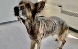 Uratowali wygłodzonego psa z wrocławskiej meliny. Właścicielom grożą 3 lata więzienia