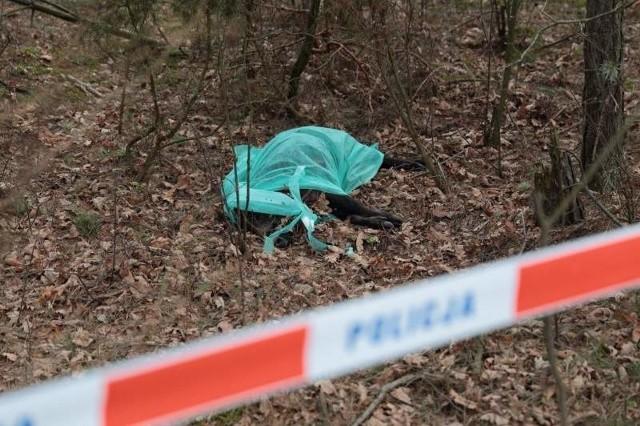 Padły dzik leżał przy ścieżce rowerowej do Supraśla już w marcu 2014 roku