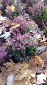 Fioletowe i różowe wrzosy to najpiękniejsze kwiaty jesieni, kwitną do listopada