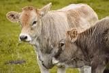 Ceny żywca wołowego w Kujawsko-Pomorskiem - wrzesień 2021. Ile kosztują byki, krowy, jałówki?