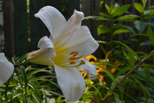 Lilia biała uprawiana jest w Polsce od wieków. Zakwita najwcześniej, bo w czerwcu