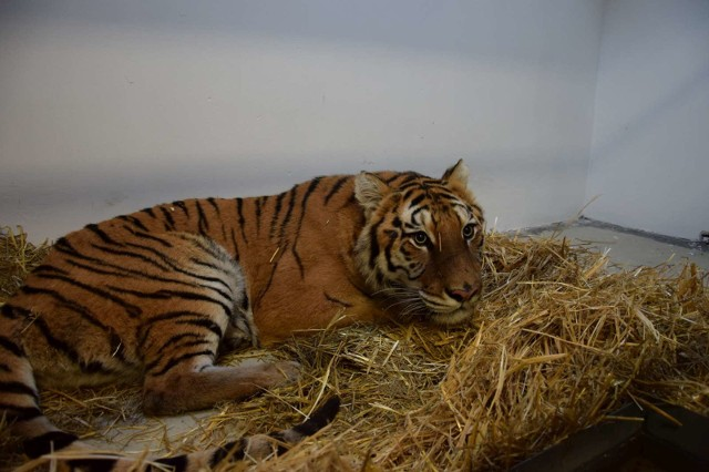 Dziewięć tygrysów, które przez ponad tydzień podróżowały z Włoch, po Europie w ciasnych skrzyniach, niedostosowanych do przewożenia drapieżników, jest już bezpiecznych. Zwierzęta uratowali pracownicy poznańskiego zoo, którzy w nocy z środy na czwartek przywieźli je do Poznania i do zoo w Człuchowie, które także zaoferowało pomoc. Teraz powracają do sił.Zobacz więcej zdjęć ---->