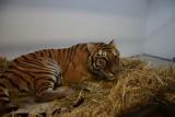 Tygrysy już bezpieczne w poznańskim i człuchowskim zoo. Jak przebiegał ich transport? O szczegółach akcji