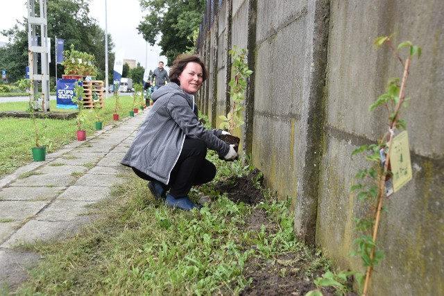 Winobluszcz zasadzono na początek przy betonowym ogrodzeniu od strony ulicy Chemicznej