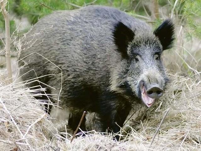 Dziki podchodzą często po jedzenie pod bloki mieszkaniowe.