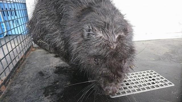 Strażnicy miejscy z Animal Patrol uratowali bobra. Zwierzę było uwięzione w kanale ściekowym
