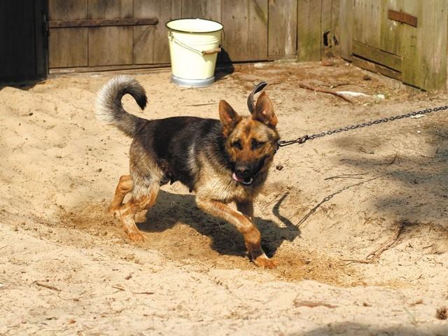 Każdy pies uwiązany na łańcuchu cierpi. I wcale nie jest lepszym stróżem od psa, który swobodnie porusza się na posesji lub mieszka w obszernym kojcu.