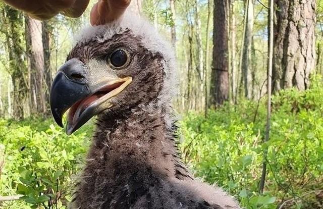 Młoda samica bielika, mieszkająca w tureckich lasach, otrzymała imię Olga, na cześć polskiej noblistki