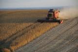 Soja. Rośnie zainteresowanie uprawą soi w Polsce. Gdzie można ją sprzedać?