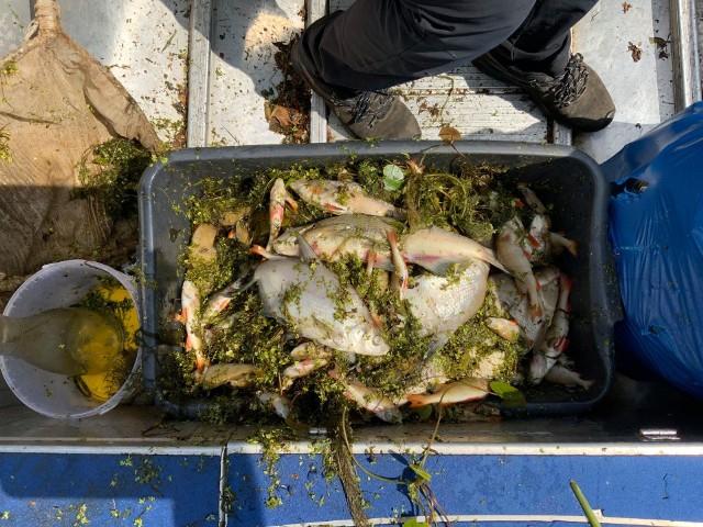 21 lipca straż Narwiańskiego Parku Narodowego miała pełne ręce roboty. Po Supraśli i Biebrzy teraz przyducha wystąpiła na Narwi. Straż wyłowiła niemal 100 kilogramów śniętych ryb.