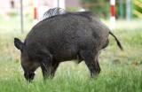Szykuje się odstrzał dzików w Małym Kacku. Dzikie zwierzęta grasują po miejscowych ogródkach działkowych