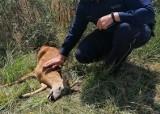Koziołek potrącony przez auto pod Grodkowem wróci do lasu. Wiele osób nie było obojętnych na jego los
