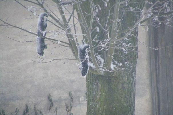 Kto wiesza martwe norki na drzewach w Bronowicach?