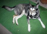 Suczka czeka na właściciela. Pies został znaleziony przy ul. Sulisławickiej w Lublinie
