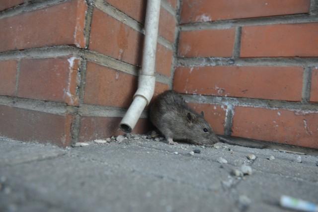 Poznań walczy ze szczurami!
