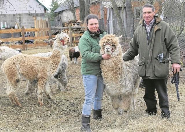 Gospodarze uwielbiają zwierzęta. Za ogrodzeniem  w zgodzie żyją egzotyczne alpaki i nasze swojskie owieczki. Czasami czworonogi bywają nieposłuszne i trzeba je przywołać   do porządku.