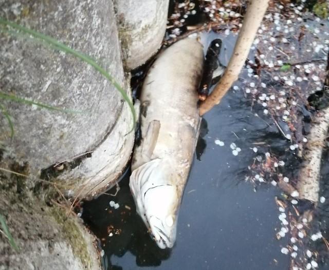 Martwe sandacze, liny i karpie pływały w stawie przy alei Orlicz-Dreszera w parku im. Piłsudskiego (na Zdrowiu). Padłe ryby zwróciły uwagę  spacerowiczów.
