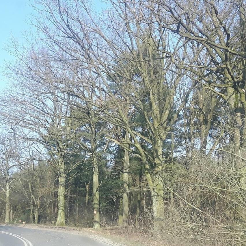 Cięcie drzew pod ścieżkę rowerową Zielona Góra - Ochla