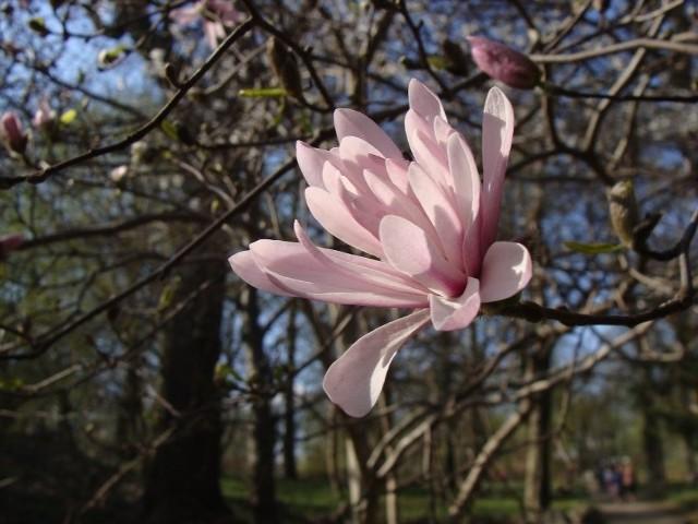 Magnolie gwiaździste kwitną bardzo wcześnie - czasem już w marcu, najczęściej jednak w kwietniu.