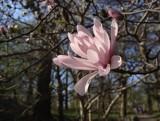 Magnolia gwiaździsta w ogrodzie. Jak uprawiać tę prawdziwą gwiazdę kwietniowego ogrodu