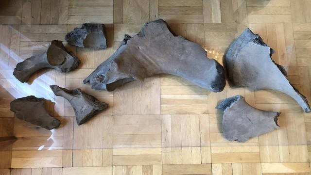 Kości słonia leśnego znalezione na budowie metra.