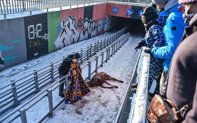 W niedzielę na os. Przyjaźni w Lesznie jeleń spadł z wysokości kilku metrów do przejścia podziemnego. Został ciężko ranny, ale nie udało się go uratować - zwierzę nie przeżyło transportu do lecznicy. Zobacz więcej zdjęć ---->
