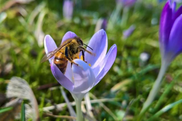 Śmigiel: Prokuratura zajmie się zatruciem pszczół/zdjęcie ilustracyjne