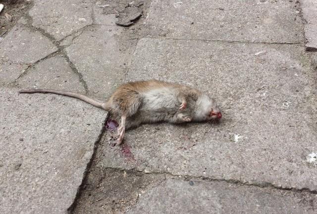 - Mieszkaniec zobaczył ogromnego szczura, jedzącego kromkę chleba, który próbował zaatakować mężczyznę - napisała do nas Internautka