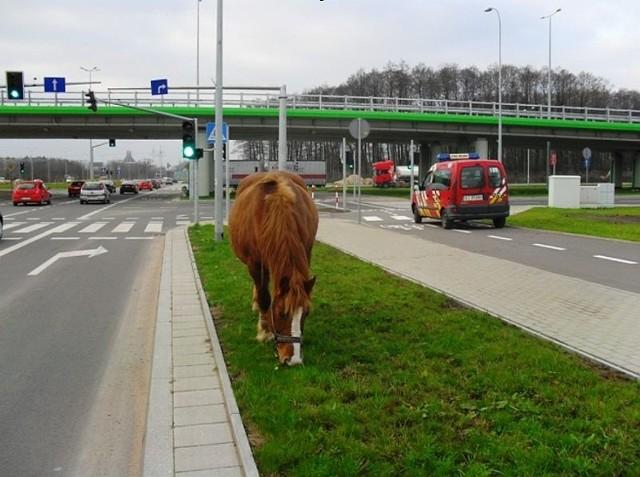 Koń obgryzał trawnik przy ul. Kazimierza Wielkiego w Białymstoku