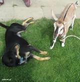 Znalazł się właściciel kozy, która wędrowała po centrum Zielonek. Uciekinierka jest już w domu