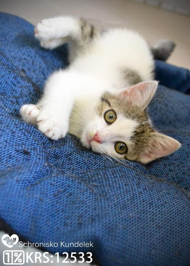 Lenka to ok. 3 miesięczna, buro-biała kotka. Jest odrobaczona, odpchlona, zaszczepiona i zaczipowana.