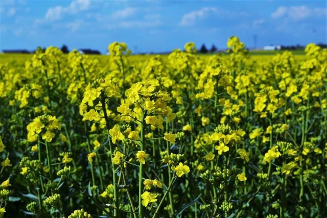 Powierzchnia, na jakiej w sezonie 2020/2021 rósł rzepak w Polsce, mogła wynieść milion hektarów.