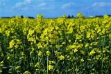 Zielony Ład. Produkcja rzepaku w Polsce może być trudniejsza. Przyszłością są nowe odmiany