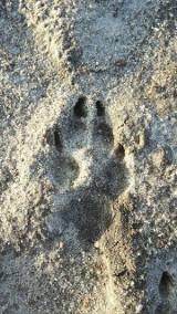 Ślady wilków w gminie Potęgowo